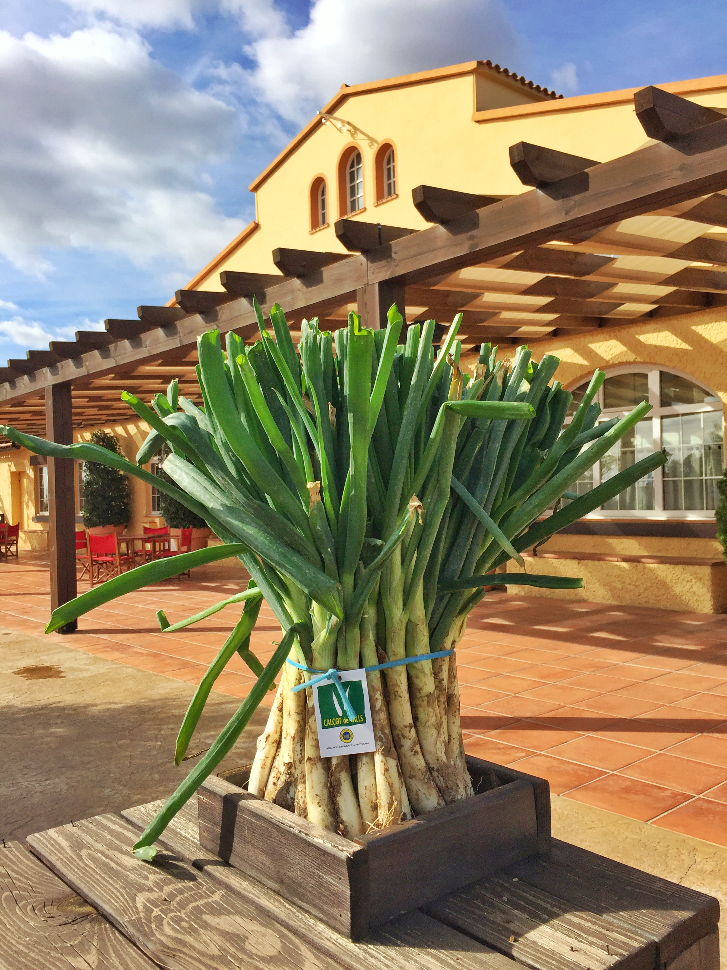 primers calçots temporada 2015-16